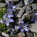 Die Mont Cenis-Glockenblume fühlt sich wohl im Bündner Schiefer - wir eigentlich auch!