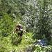 weglos im steilen Hang durch üppiges Grün