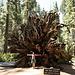 Sequoie a Mariposa Grove, Yosemite N.P.