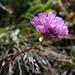 Eine recht seltene Alpen-Grasnelke am Posmeda