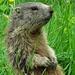 Immer auf der Hut und Ausschau nach Feinden...die Murmeltiere