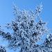 Winterliche Bäume I