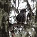Tannenhäher im Baum