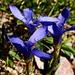 Gentiane ciliée (Gentiana ciliata), une des rares fleurs au mois de septembre