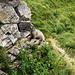 Marmotte à Jegertosse