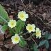 Erste Frühlingsboten im Tessin: Blühende Stängellose Schlüsselblume (Primula vulgaris).