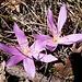 Lichtblumen (Colchicum bulbocodium) paarweise