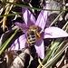diese Lichtblume (Colchicum bulbocodium) hat Besuch bekommen