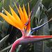 jede Strelizie, auch Papageienblume genannt, zeigt ihr eigenes Gesicht