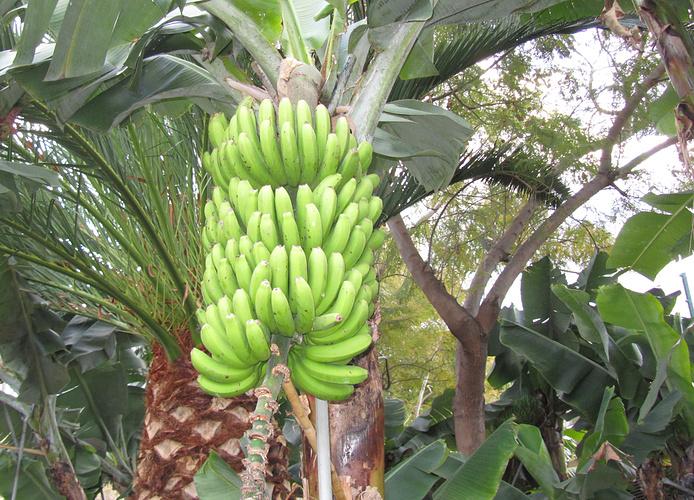eine bananenpflanze tr gt pro jahr nur ein b schel. Black Bedroom Furniture Sets. Home Design Ideas