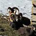 Steinbockfamilie im Wildpark auf dem Pfänder