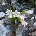Botanische Rarität im Kletterfels, albino Enzian.