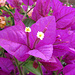 lila Blütenteppich einer Bougainvillea