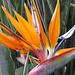 prächtige Strelizie, das botanische Wahrzeichen Madeiras