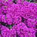 lila Farbenrausch