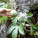 wilde Passionsfrucht (Maracuja) am Wegrand