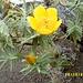taufrische üppige gelbe Blüte