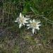 in den felsigen Hängen der Conca di By hat es viele Edelweiss