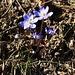 Im Wald oberhalb Haldenstein zeigen sich die ersten Frühlingsboten: Leberblümchen (Anemone hepatica) die in der Schweiz besonders geschützt und nicht gepflückt oder ausgegraben werden dürfen.