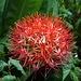 Fireball Lily - Blutblume