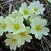 Primeln, mit die ersten Frühlingsboten