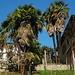 Hanfpalmen (Trachycarpus fortunei) in einem Tessiner Garten. Ursprünglich stammt die kälteressistente Palmenart aus subtropischen Regionen Zentral- und Ostchinas.