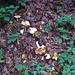 Pilze am nassen Waldweg bei Abschlact