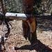 """Wir kapitulieren, sind geknickt wie der Baum… (-;<br />Im Nachhinein habe ich dann zuhause auf der alten Karte gesehen, dass der gesuchte Punkt noch weiter  in dem felsigen Gelände gewesen wäre. Wir wissen auch was """"eb"""" im Stockhorngebiet bedeuten kann… Auf der anderen Seite hat ja [u Axi] bei seiner ersten Tour[tour23602 Latterbachflue 1205 m] dort gesucht und auch nichts gefunden…<br />"""