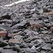 gar nicht scheue Steingeissen auf dem Colle della Sassa; offensichtlich hat luke die selben Tiere auch fotografiert