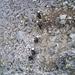 Gut getarnt im Granit-Geröll