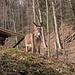 Esel beim Abstieg nach Langnau