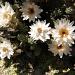 """""""Das korsische Edelweiß"""", Helichrysum frigidum - eine Strohblumenart, Endemit der Insel"""