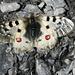 Schmetterling am Weg