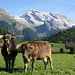 Two cows and the powdered Säntis