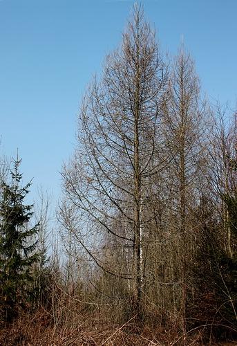 die l rchen sind noch kahl sie ist ein nadelbaum der. Black Bedroom Furniture Sets. Home Design Ideas