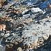 Steinböcke beim Col de Pigne