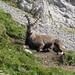 Nach kurzer kritischer Musterung des merkwürdigen, aber harmlosen Berggängers, legt sich das stolze Tier wieder gelassen hin