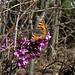 Aglais urticae auf Daphne mezereum (Kleiner Fuchs auf Seidelbast)