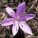 Frühlings-Lichtblume 1