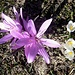 Lichtblumen und Bergkrokusse friedlich nebeneinander