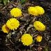 Blumenstrauss aus Huflattich.