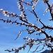 nochmals ein Hauch von Aprikosenblüten...der Rest liegt am Boden
