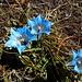 Die Enzian mit den spitzen Blütenblättern haben wir auf sonnigen Wiesen bis etwa 4000 Metern gefunden