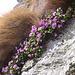 Poi saliamo fra enormi macchie colorate. Primula hirsuta, Primulaceae