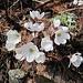 die Leberblümchen in weiss