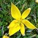 eigens für mich öffnet eine Rebbergtulpe (Tulipa sylvestris) die Blütenblätter