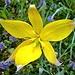 Rebbergtulpe (Tulipa sylvestris) einfach schön