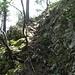 Im Aufsteig zum Grat. Stellenweise recht heikel an Wurzeln und Würzelchen, Bäumen und Bäumchen.