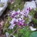 Wer kennt diesen hübschen Zeitgenossen?  --> Alpendost (Adenostyles alliariae)