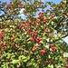 tolle Farben: der fruchtende Weißdorn-Strauch
